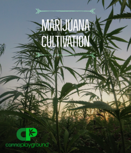 Marijuana Cultivation
